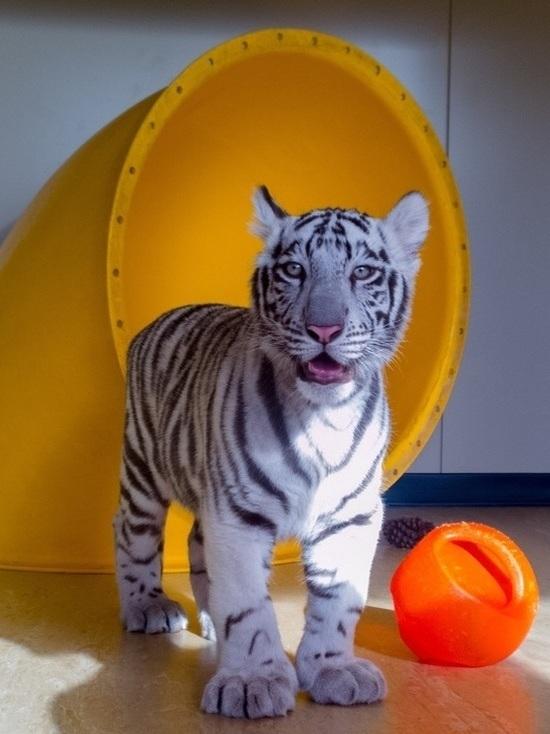 Видео: тигренок из барнаульского зоопарка играет с мячом