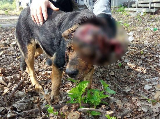 В Рязани подобрали собаку со снятым скальпом и оторванным ухом