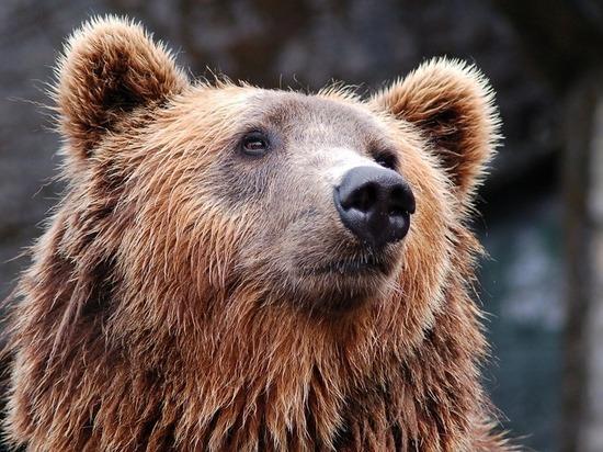 Медведь прогнал туристов с берега Телецкого озера