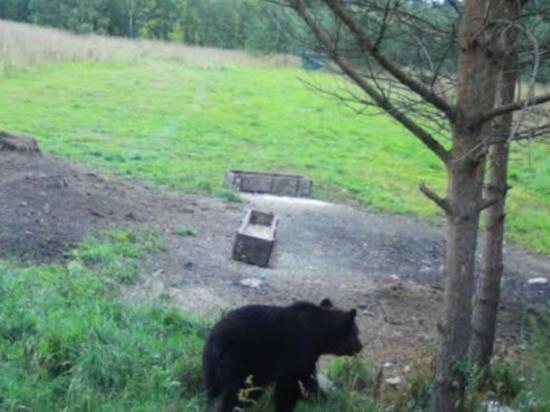 Под поселком Коробицыно медведь напал на грибников: они спаслись бегством