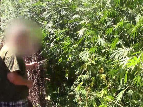 Более тысячи прополотых и политых кустов конопли изъяли у жителя Кубани с огорода