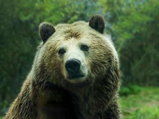 Недалеко от Барнаула были обнаружены медвежьи следы