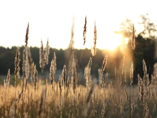 На Алтае собрали три миллиона тонн зерна