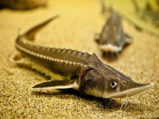 В Павловском водохранилище будут разводить ценную промысловую рыбу