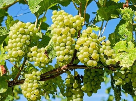 Казанцев приглашают на выставку винограда