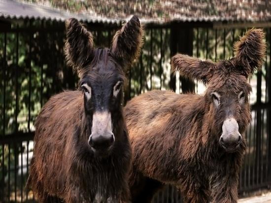 Боятся луж и люков: в зоопарке рассказали о необычных ослицах пуату