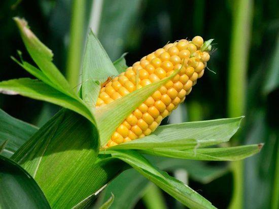 В Ярославской области прошел День Кукурузы