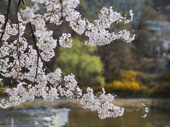Ко дню рождения Толстого в Ясной поляне посадили сакуру