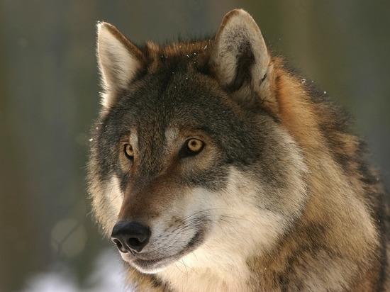 Под Симферополем волки напали на людей: трое пострадавших
