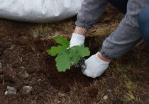 Деревья высадят сегодня, в Единый день посадки леса в рамках Всероссийской осенней акции «Живи, лес!», направленной на привлечение внимания к проблеме сохранения и приумножения лесов