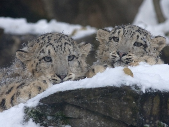 Детенышей алтайского снежного барса назвали Кай и Герда