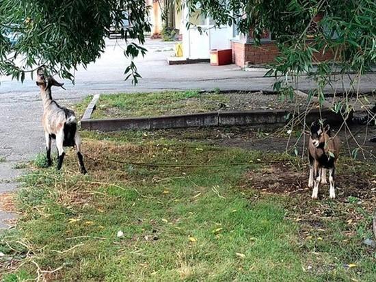 Барнаулец выгуливал двух коз на поводке в черте города