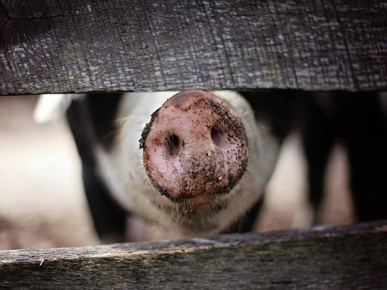 Африканская чума свиней подбирается к Забайкалью