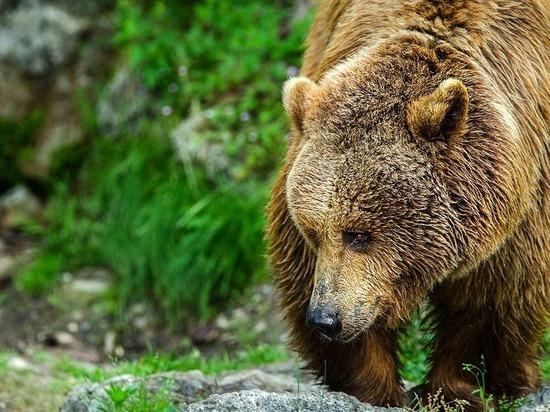 Шедшего по трассе медведя сняли на видео в Забайкалье