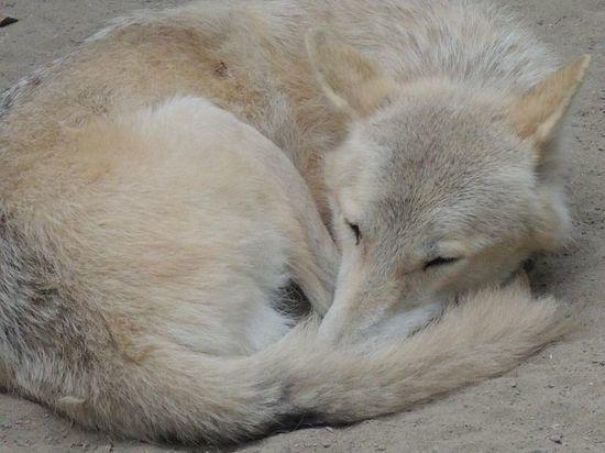 В новосибирский зоопарк привезли арктическую волчицу