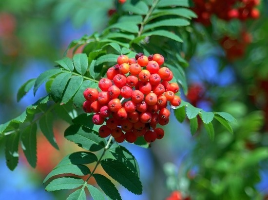 Урожай рябины дал прогноз на катаклизмы поздней осени и зимы