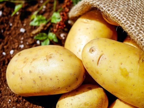 Во Владимирской области собрали 48 тыс. тонн картофеля