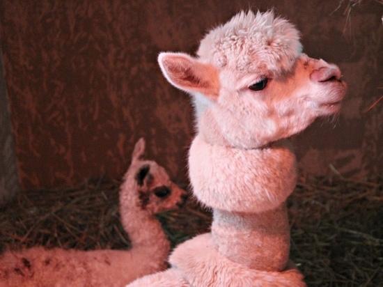 Альпака родилась в нижегородском зоопарке «Лимпопо»
