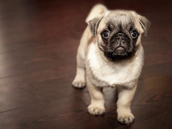 Владельцы собак забили тревогу: освежители воздуха убивают питомцев