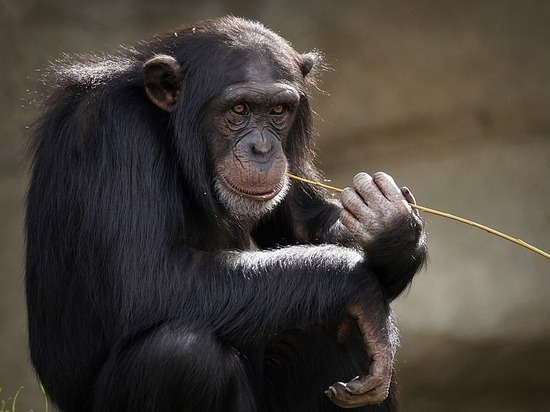 Сердце бездельников напоминает обезьянье, показало исследование