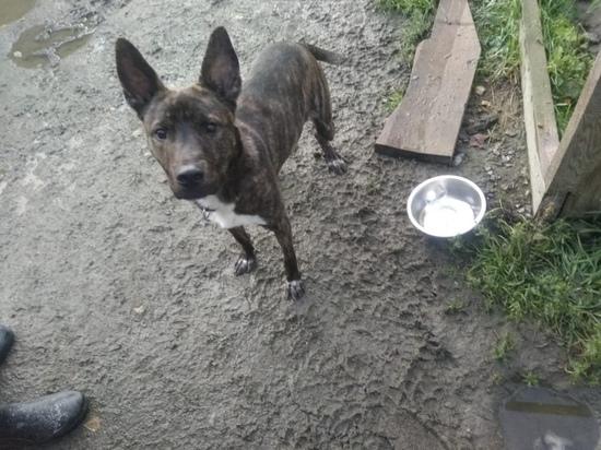 Костомукшские зоозащитники рассказали, как дела у пса, оставленного умирать на привязи в лесу