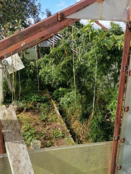 Житель Тверской области вырастил в теплице 50 кустов конопли
