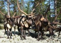 В Губкинском откроют этнопарк с чумами и оленями
