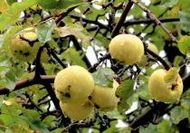 Caspian University: Утерянная коллекция яблонь будет возвращена
