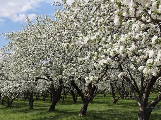 В Абакане сегодня приступили к посадкам деревьев и кустарников