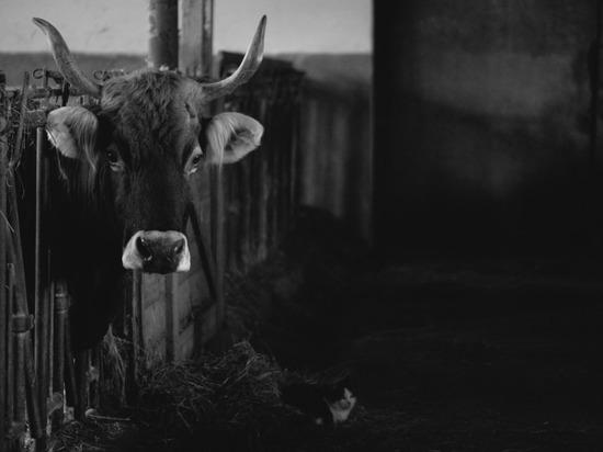 В Северной Осетии с бедностью на селе будут бороться раздачей коров