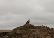 Жители Салехарда пытаются опознать хищную птицу