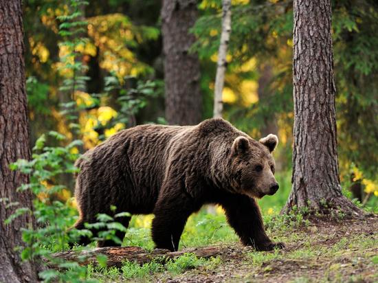 Забайкалец попал в больницу после нападения медведя
