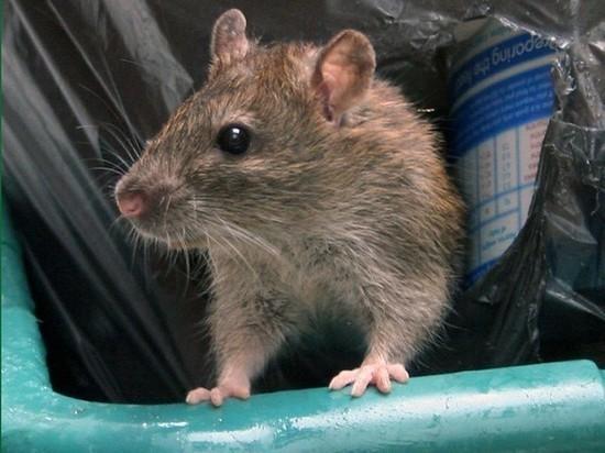 Жителей Ярославля одолевают крысы