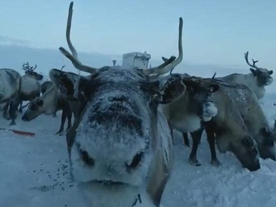 Вахтовик снял на видео «поцелуй оленя» в Сабетте