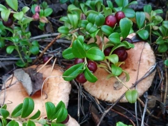 Минприроды Забайкалья объяснило выход медведей неурожаем грибов и ягод