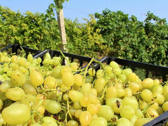 В Крыму собрали урожай почти с половины площади виноградников