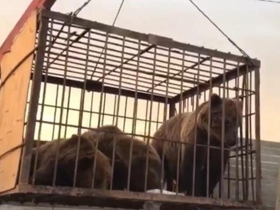 Из Ингушетии в КЧР переехали спасенные экс-мэром Магаса три медведя