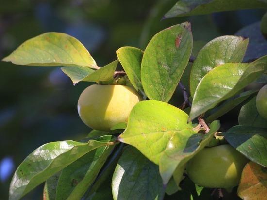 Этот сладкий фрукт предотвращает рак