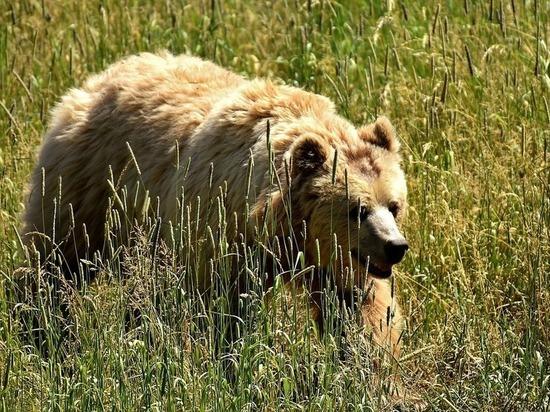 Медведь лазит по дворам и ест собак в селе Забайкалья