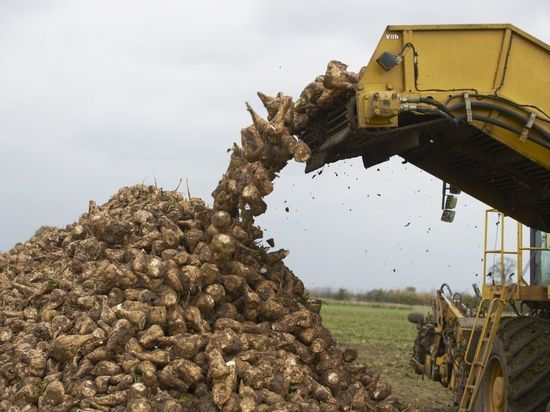 В Воронежской области собрали уже 2 млн тонн сахарной свеклы