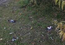 Жители Салехарда сообщили об истреблении голубей в центре города