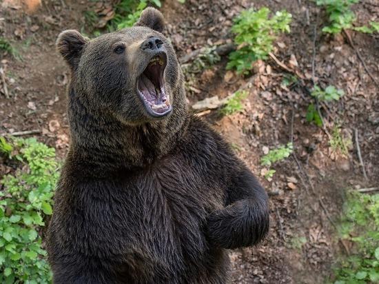 Евшего собак медведя застрелили в селе Забайкалья