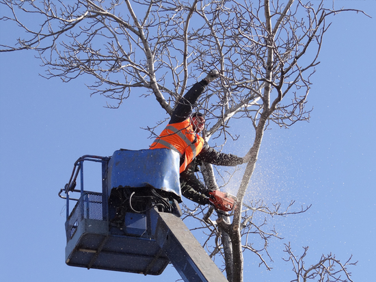 В Воронеже подлежат замене 11% деревьев
