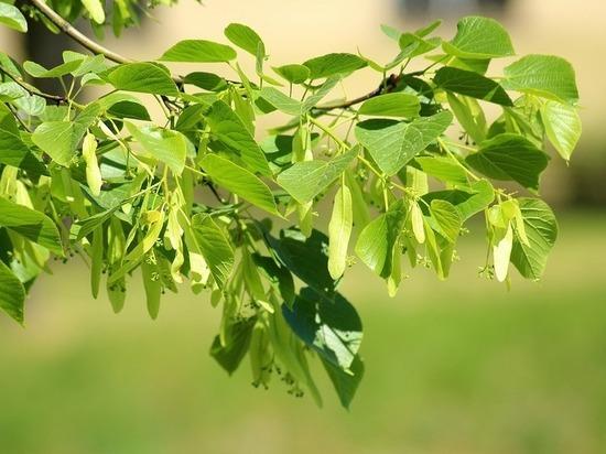 На Ставрополье у школ высаживают деревья ценных пород