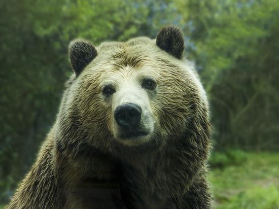 Медведь насмерть загрыз женщину в Хилокском районе Забайкалья