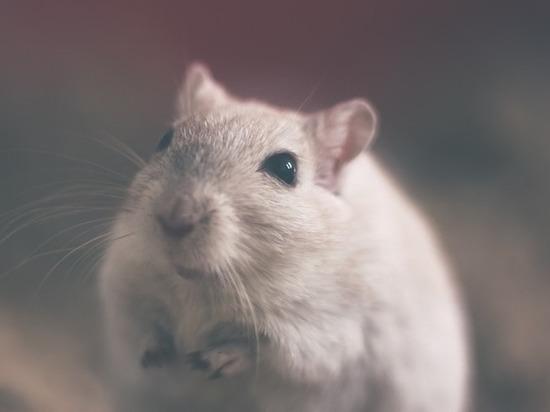 Мышь стала постоянным гостем супермаркета в Колпино