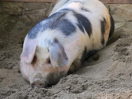 Причиной тому послужил недостаток свинины