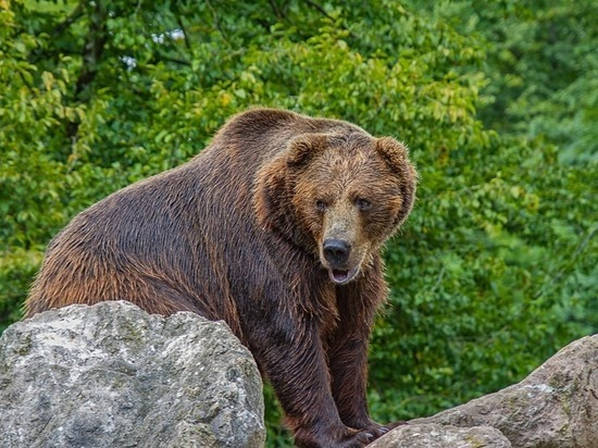 Отстреливать агрессивных медведей разрешили в 11 районах Забайкалья