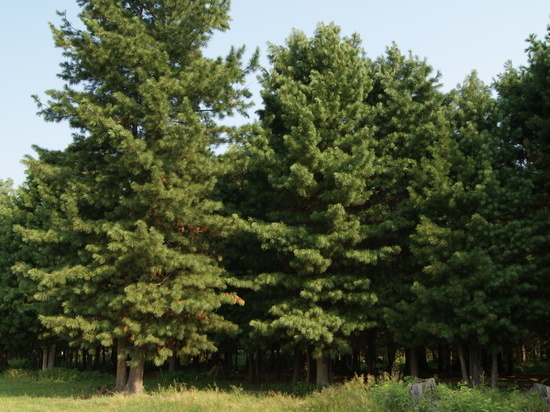 Фирма «Корея-Сибирия Вуд» не восстановила тайгу на 198 гектарах в Тегульдетском районе