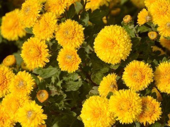 В конце октября в Никитском ботсаду откроется Бал хризантем
